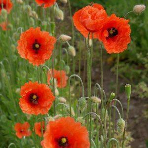 Long podded poppy