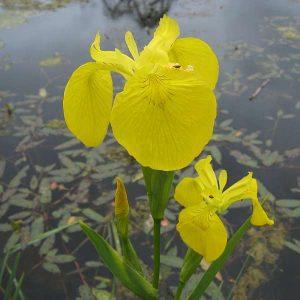 Iris psuedacorus, yellow flag iris.