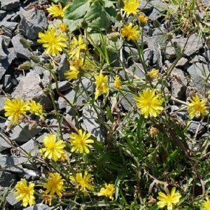 Scorzoneroides autumnalis, autumn hawkbit.