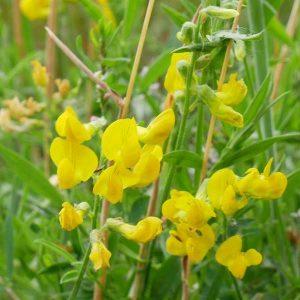 Lathyrus pratensis, meadow vetchling.