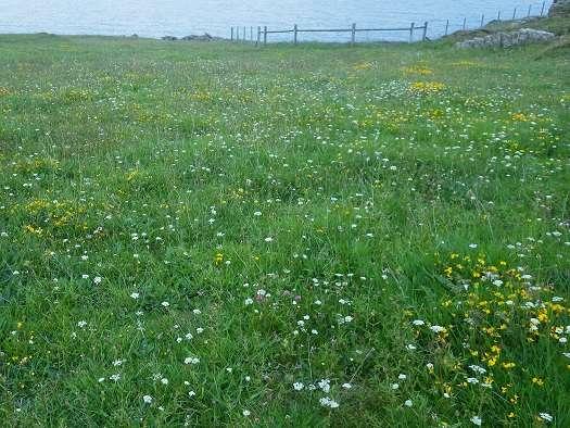 Native Irish coastal meadow