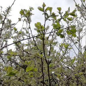 Salix caprea, Goat willow.