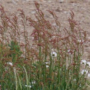 Rumex acetosa. Common sorrel.