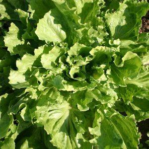 Organic Endive Batavian Broad Leaved