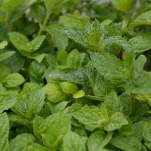Organic Herb Mint: Peppermint