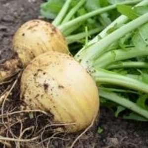 Swede and Turnip