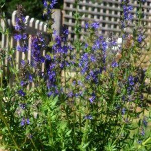 Organic Herb Hyssop
