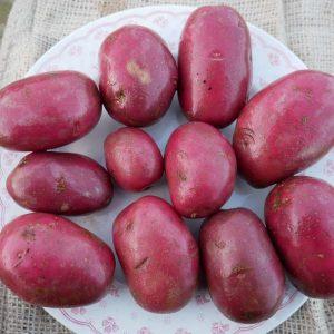Organic Alouette seed potatoes