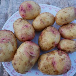 Organic Carolus seed potato
