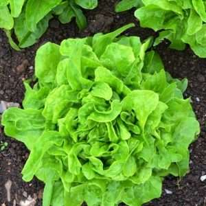 Lettuce: Oak Leaf