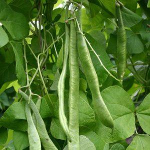 Organic Runner Bean Emergo