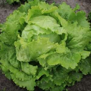 Organic Lettuce Blonde De Paris