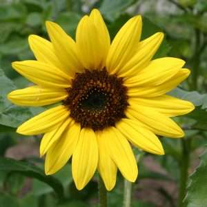 Organic Sunflower Medium Yellow