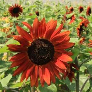 Organic Sunflower Velvet Queen