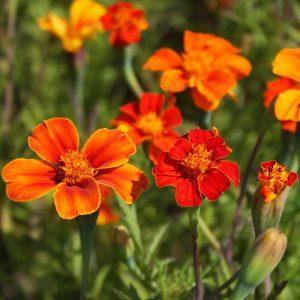 Organic Wild French Marigold