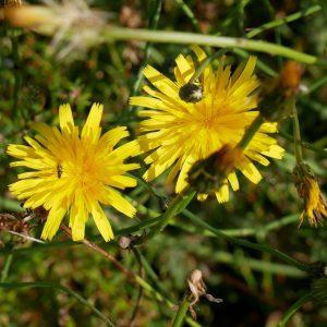 Hypochaeris radicata. Cat's-ear Irish wildflowers.