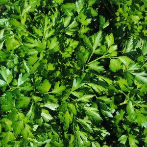 Organic Herb Parsley Flat Leaved