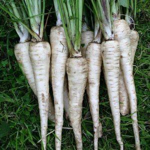 Organic Tender and True Parsnip