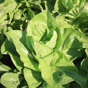 Organic Chicory Zuckerhut