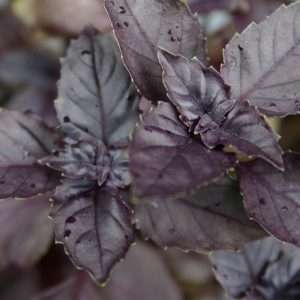 Organic Herb Red Basil