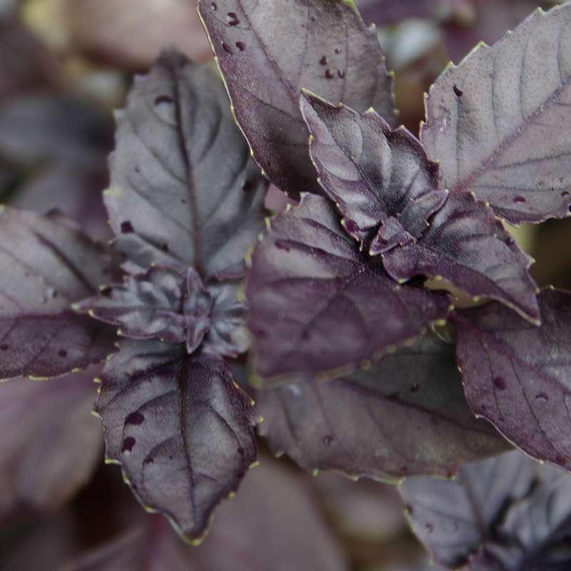 Organic Herb Red Basil