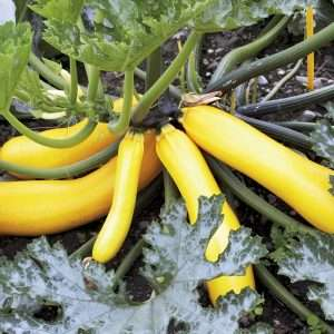 Organic Courgette Selection Sativa