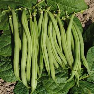 Organic bush bean La Victoire