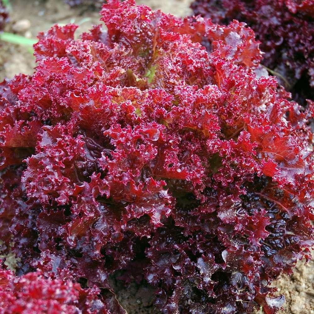 Organic Lettuce Lollo Rossa Di Vino