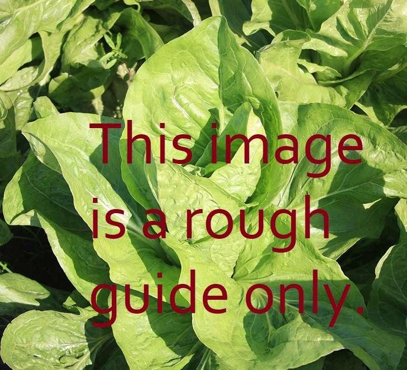Green manure chicory